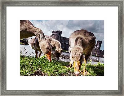 Greylag Geese Grazing Framed Print by Paul Williams
