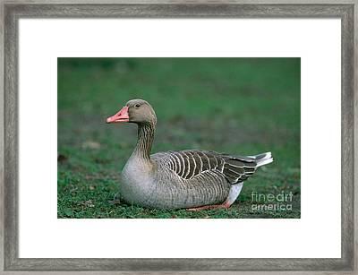 Greylag Goose Framed Print by Christian Grzimek