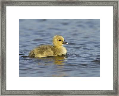 Greylag Goose Gosling Zeeland Framed Print by Sytze Jongma
