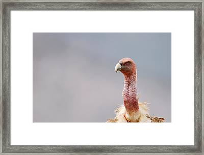 Griffon Vulture Framed Print by Dr P. Marazzi