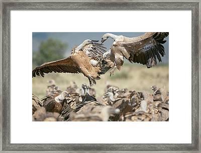 Griffon Vultures Framed Print by Nicolas Reusens