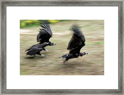 Griffon Vultures Taking Off Framed Print by Pan Xunbin
