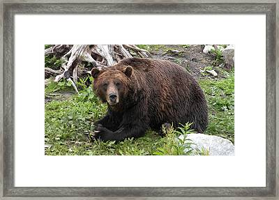 Grizzly Bear Framed Print by Brian Chase