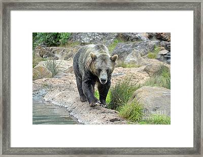 Grizzly Bear Framed Print by Jim Fitzpatrick