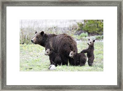 Grizzly Family Portrait Framed Print by Deby Dixon