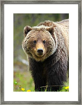 Grizzly Framed Print by Stephen Stookey