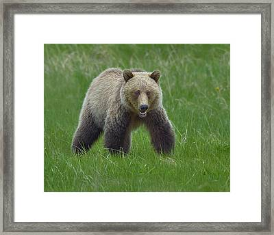 Grizzly Framed Print by Tony Beck