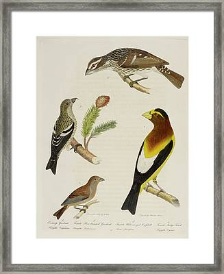 Grosbeak And Crossbill Framed Print by British Library