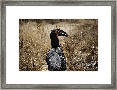 Ground Hornbill-africa Framed Print by Douglas Barnard