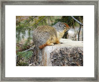 Ground Squirrel - Canada Framed Print by Phil Banks