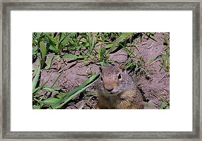 Ground Squirrel Framed Print by Dan Sproul
