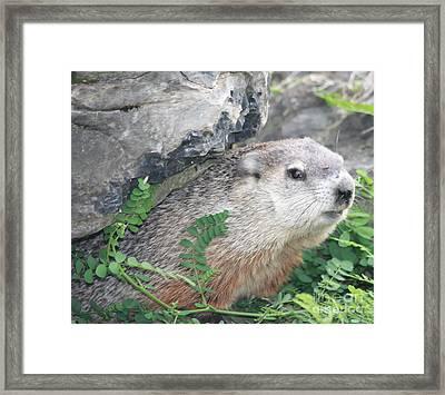 Groundhog Hiding Framed Print by John Telfer