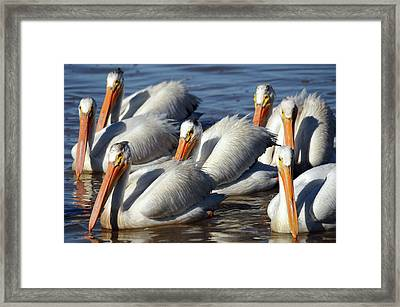Group Of American White Pelicans Framed Print by Michel Hersen