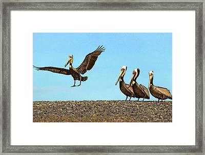 Group Of Brown Pelicans In Western Framed Print by Thomas Wiewandt