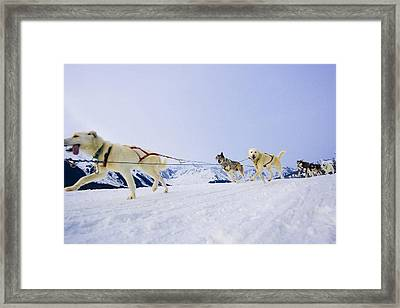 Guided Dog Mushing Tour In Moose Framed Print by Michael DeYoung