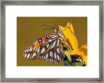 Gulf Fritillary Butterfly Framed Print by Millard H. Sharp