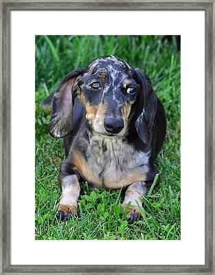 Gus The Dappled Miniature Dachshund Framed Print by Lisa Phillips