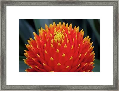 Guzman Conifer Bromeliad, Guzmania Framed Print by Thomas Wiewandt