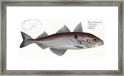 Haddock Framed Print by Andreas Ludwig Kruger