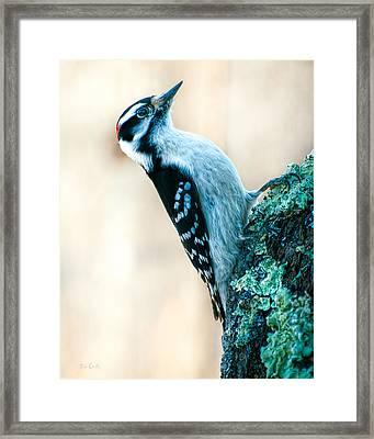 Hairy Woodpecker Framed Print by Bob Orsillo