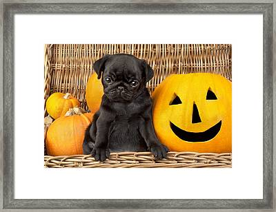 Halloween Pug Framed Print by Greg Cuddiford
