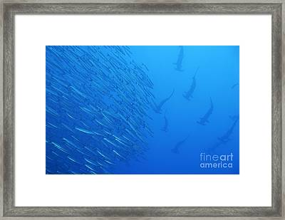 Hammerhead Sharks By School Of Fishes Framed Print by Sami Sarkis