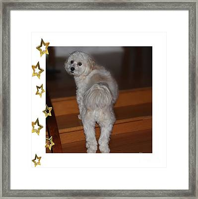 Handsome Havanese Pup Framed Print by Barbara Griffin