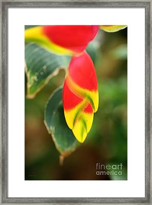 Hanging Heliconia 2 Framed Print by Cheryl Young