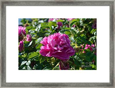 Hansa Rose At Dawn Framed Print by Alys Caviness-Gober