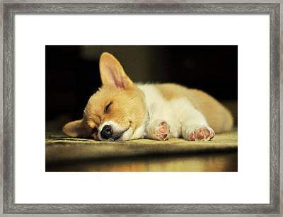 Happiness Is A Warm Corgi Puppy Framed Print by Rebecca Sherman