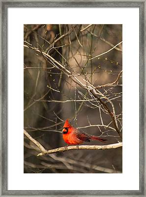 Happy Cardinal Framed Print by Nathaniel Kidd
