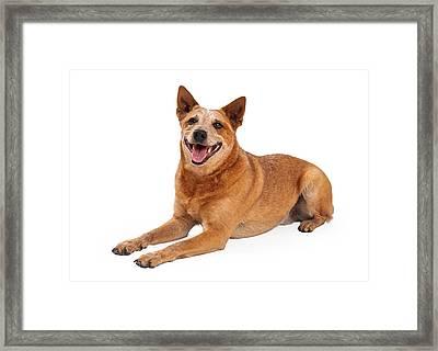 Happy Red Heeler Dog Laying  Framed Print by Susan  Schmitz