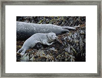 Harbor Seal Pup Resting Framed Print by Suzi Eszterhas
