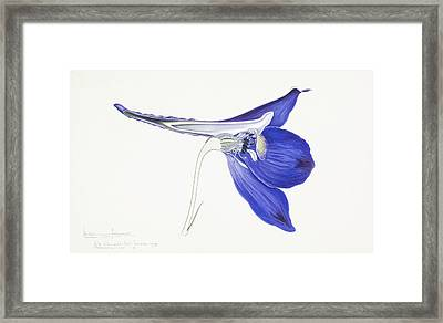 Hardy Larkspur (delphinium Formosum) Framed Print by Science Photo Library