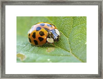 Harlequin Ladybird Framed Print by Heath Mcdonald