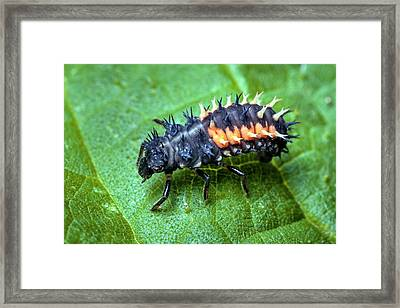 Harlequin Ladybird Larva Framed Print by Alex Hyde