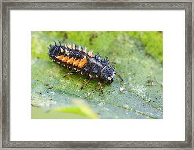 Harlequin Ladybird Larva Framed Print by Heath Mcdonald