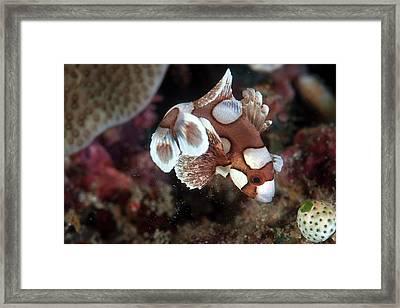 Harlequin Sweetlips Framed Print by Ethan Daniels