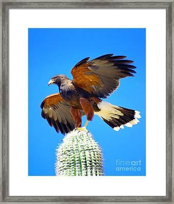 Harris Hawk Framed Print by Douglas Taylor