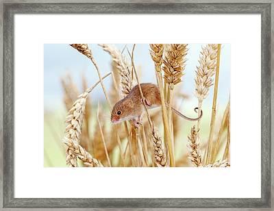 Harvest Mouse On Wheat Framed Print by John Devries