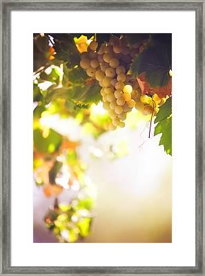 Harvest Time. Sunny Grapes I Framed Print by Jenny Rainbow