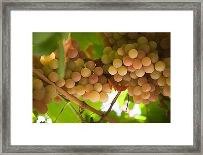 Harvest Time. Sunny Grapes II Framed Print by Jenny Rainbow