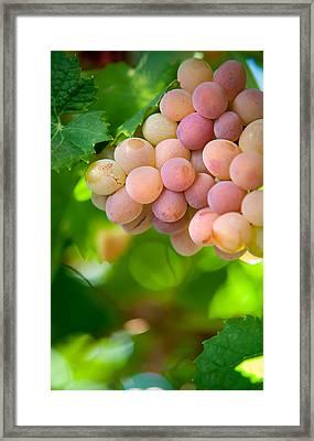 Harvest Time. Sunny Grapes Viii Framed Print by Jenny Rainbow