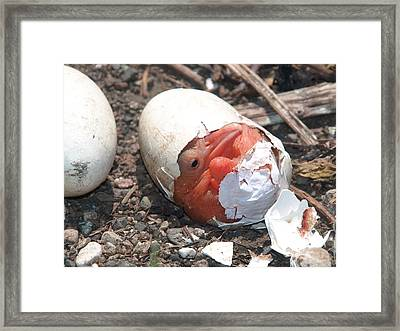Hatching Pelican Framed Print by James Peterson