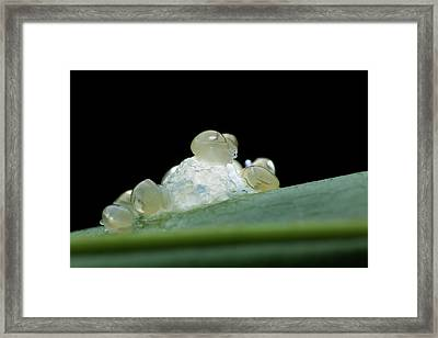 Hatching Snails Framed Print by Melvyn Yeo