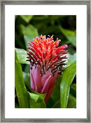 Hawaii Bromeliad Framed Print by Douglas Peebles