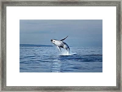 Hawaii Whale Breach Framed Print by Pasha Reshikov