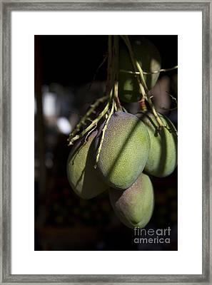 Hawaiian Mango Kihei Maui Hawaii Framed Print by Sharon Mau