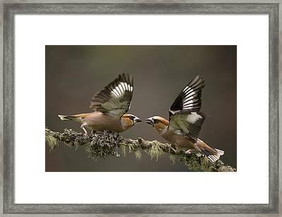 Hawfinch Males Fighting Gelderland Framed Print by Edwin Kats