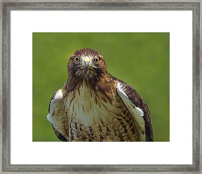 Hawk Eyes Framed Print by Tony Beck